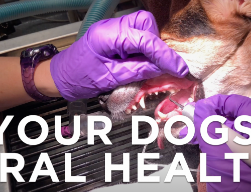 Your Dog's Mouth: How to Care for it & Keep it Healthy